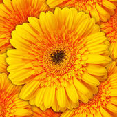Close up view of yellow daisy — Stock Photo