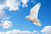 Dove in the air with wings wide open — Стоковое фото