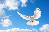 Dove in the air with wings wide open — 图库照片