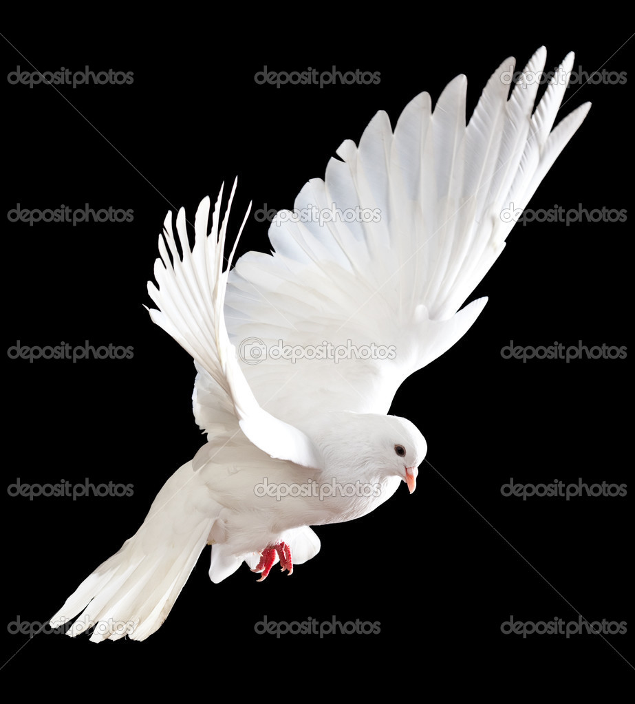 A free flying white dove isolated on a black background — Stock Photo #5121324