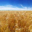 Ears of wheat under sky — Stock Photo