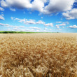 Ears of wheat under sky — Foto Stock