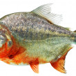 Isolated piranha - Foto de Stock
