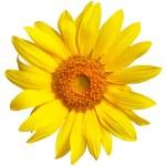 Sunflower isolated on white — Stock Photo