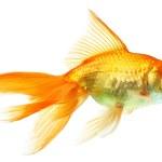 guld fisk isolerad på vit — Stockfoto