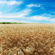 Ears of wheat under sky — Stock fotografie