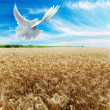 Ears of wheat under sky - Stock Photo
