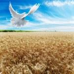 Ears of wheat under sky — Stock Photo