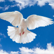 Photo: Dove in the air with wings wide open