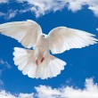 Stock Photo: Dove in the air with wings wide open