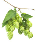 Hop isolated on white — Stock Photo