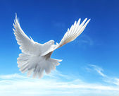 Dove in the air with wings wide open in-front of the blue sky — Foto de Stock