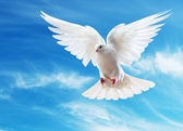 A free flying white dove isolated — Foto Stock