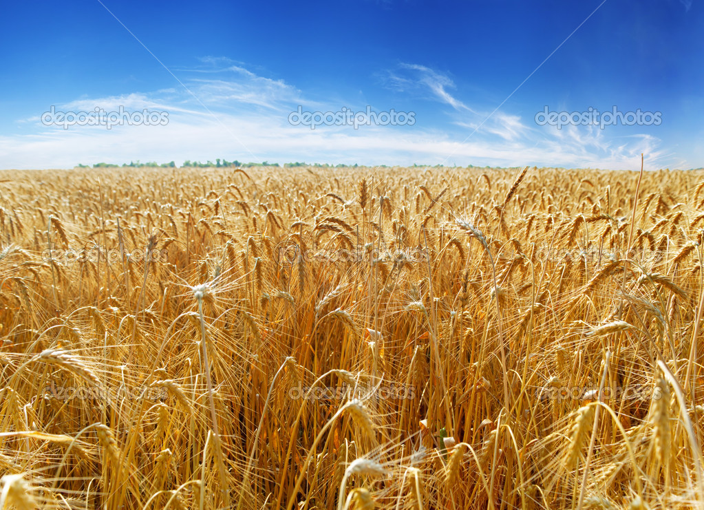 Gold ears of wheat under sky. — Stock Photo #5130164