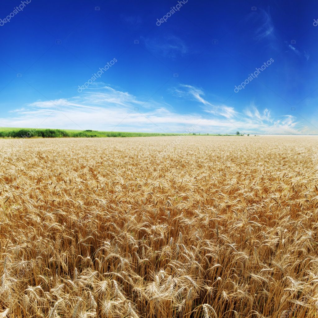 Gold ears of wheat under sky.  Stock Photo #5130168