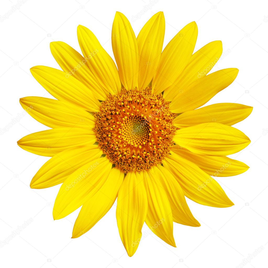 Perfect Sunflower, completely isolated on white background  Stock Photo #5131665