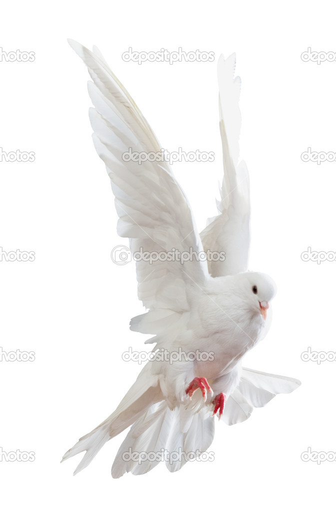 A free flying white dove isolated on a white background — Stock Photo #5133877
