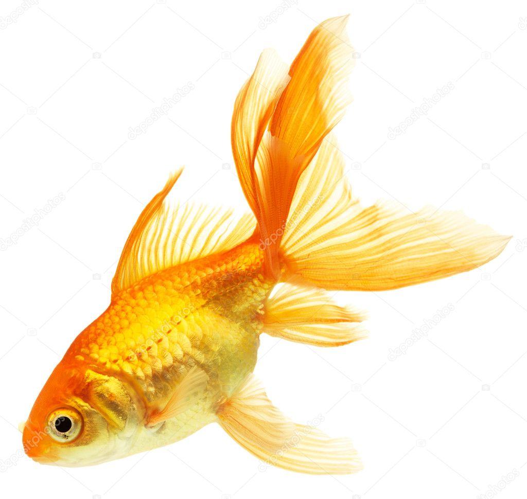 фото золотая рыбка