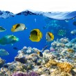 Photo of a coral colony on a reef, Egypt — Stock Photo #5145665