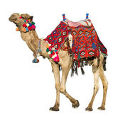 The lonely domestic camel on white. — Stock Photo