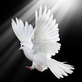 A free flying white dove isolated on a black — Foto Stock
