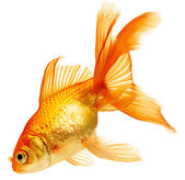 Gold fish isolated on white — Foto Stock