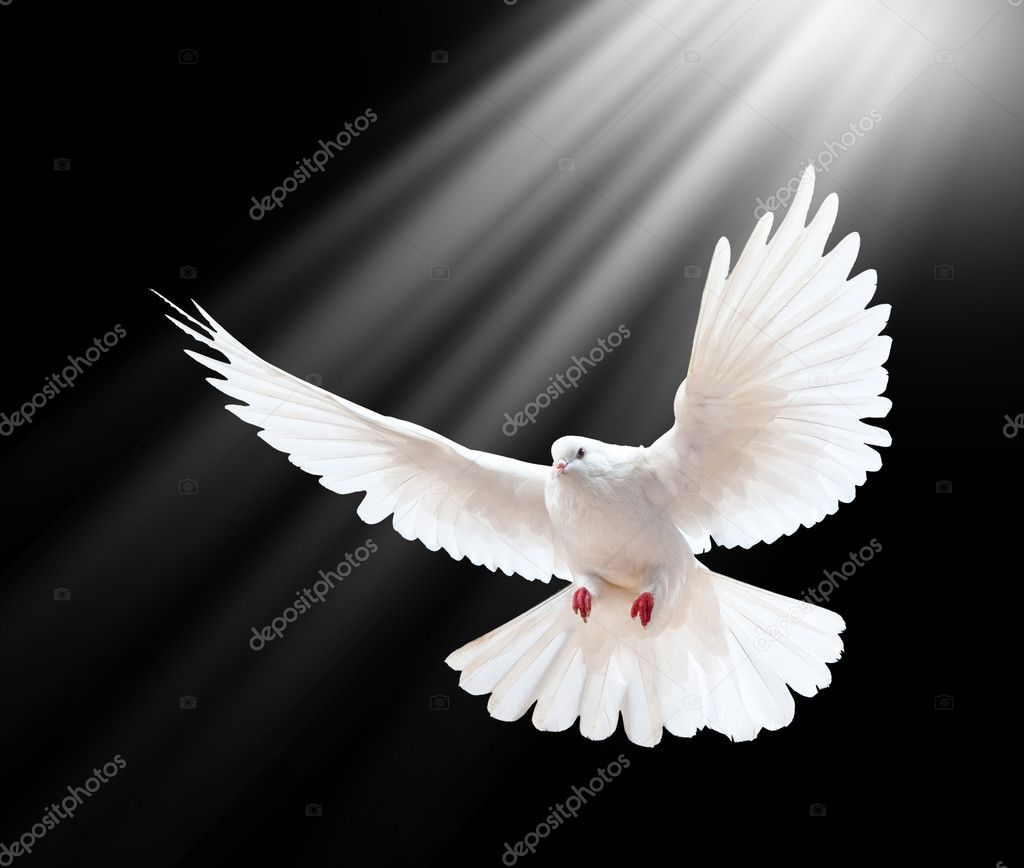 A free flying white dove isolated on a black background — ストック写真 #5145735