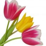 Tulips — Stock Photo #3642302