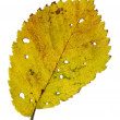 Stock Photo: Yellow autumnal leaf