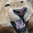Lion — Stock Photo #3643078
