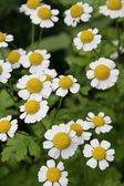 Camomiles daisywheels — Stock Photo