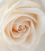 White rose closeup — Stock Photo