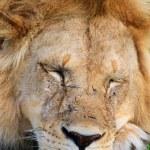 Lion — Stock Photo #3587061