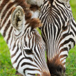 Zebras — Stock Photo #3645057