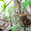 Royalty-Free Stock Photo: Tarsier