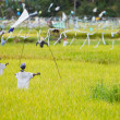 Scarecrows on rice field — Stock Photo