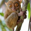 Stock Photo: Tarsier