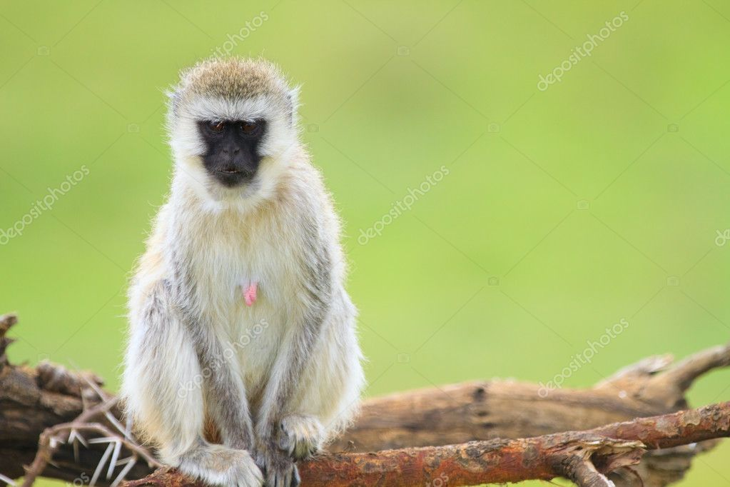 Black-faced vervet monkey in Serengeti national park, Tanzania  Stock Photo #3645080