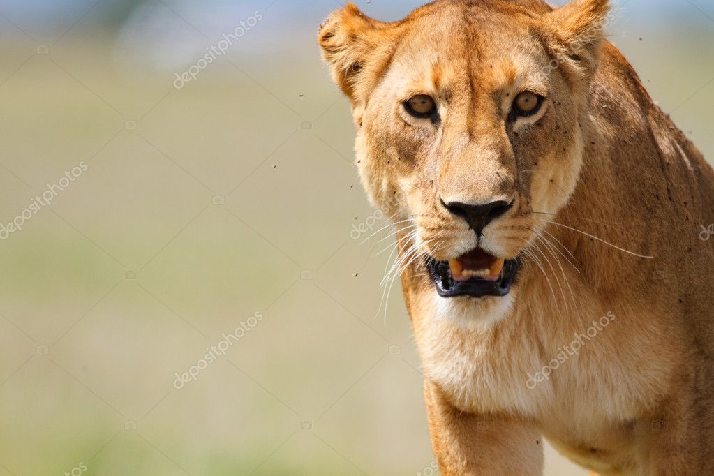 Portrait of lioness in central Serengeti national park, Tanzania — Stock Photo #3645093