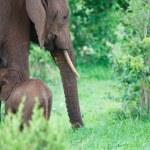 Elephants — Stock Photo #3724380