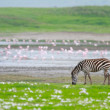 Zebra in Ngorongoro conservation area — Stock Photo #3724493