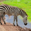 Zebra in Ngorongoro conservation area — Stock Photo #3724508