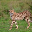 Cheetah — Stock Photo #3724589