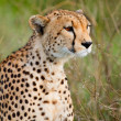 Cheetah — Stock Photo #3724595