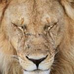 Lion portrait — Stock Photo #3724605