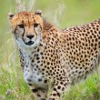 Cheetah — Stock Photo #3724632