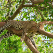 Leopard — Stock Photo #3724637