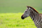 Zebra in Ngorongoro conservation area — Stock Photo