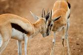 Thomsons gazelle — Stockfoto