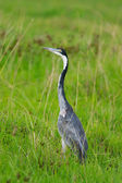Black headed heron — Stock Photo